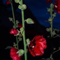 Цветы ночью :: Света Кондрашова