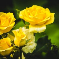 Розы :: Юлия