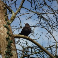 Самка чёрного дрозда :: Natalia Harries
