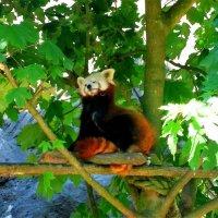 Красная панда :: Nina Yudicheva