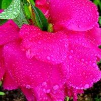 В каплях дождя... :: Светлана