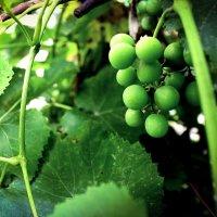 Виноград :: Татьяна