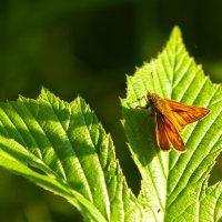 Бабочка в утреннем свете :: Анатолий Иргл