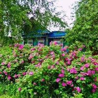 Шиповник цветёт :: Елена Федотова