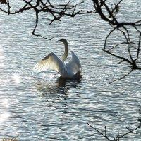 Лебедь в лучах солнца :: Маргарита Батырева