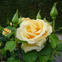 """""""Роза желтая,роза чайная Аромата необычайного""""... :: Galina Dzubina"""