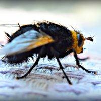 Большой мух...) :: Ирина Solo