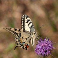 Papilio machaon :: Ринат Валиев