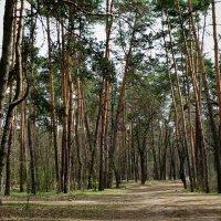 В весеннем лесу :: Владимир Бровко