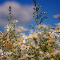 Я дарю, всем влюблённым на свете, ромашковые поля! :: Наталия M