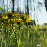 Желтые ромашки :: Марина Влади-на