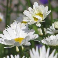 Любимый цветок России :: Татьяна Смоляниченко