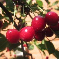 Поспели вишни... :: татьяна