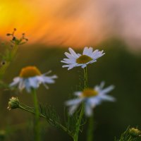 Ромашки и закат :: Марат Макс