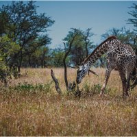 А у жирафа шея длинная... Танзания! :: Александр Вивчарик