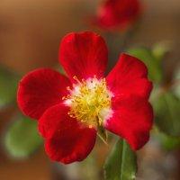 Аленький цветочек :: Виталий