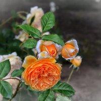 розы :: Marina Timoveewa