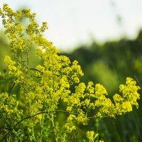 Полевые цветы. :: юрий Амосов