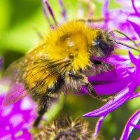 Пчёлка :: Albertik Baxton