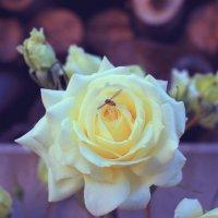 белые розы :: Евгения Калугина