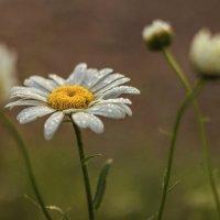 Рассветные ромашки... :: Альмира Юсупова