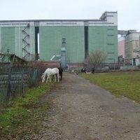 Пасущиеся  лошади  в  Ивано - Франковске :: Андрей  Васильевич Коляскин