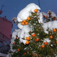 Мандарины в снегу. :: Оля Богданович