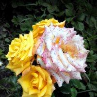 Розы :: Павел В.