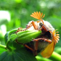 Майский жук. :: оля san-alondra