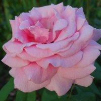 Розовый шёлк лепестков... :: Тамара (st.tamara)