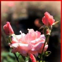 Светлая роза,эмблема.... :: Николай Волков