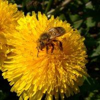 солнечная пчелка :: linnud