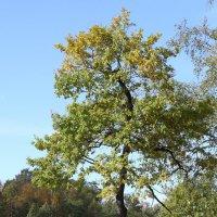 дерево :: Николай Холопов