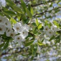яблони в цвету :: Василиса