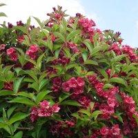 Вейгела цветёт :: Natalia Harries