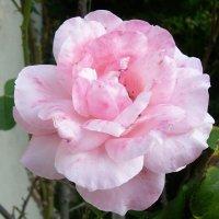 Роза :: татьяна