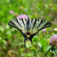 Бабочка семейства парусников (Papilionidae) - Подалирий (лат. Iphiclides podalirius). :: *MIRA* **