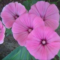 Розовый свет лаватеры :: Нина Корешкова