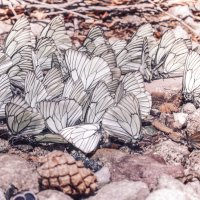 Бабочки на водопое :: Ольга Гудым