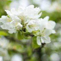 Цветы весны :: Марина Кулымова