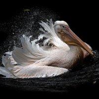 пеликан :: Михаил Бибичков