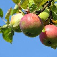 С веток яблоки свисают... :: Татьяна Смоляниченко