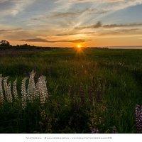 Белый люпин на закате :: vik zhavoronka