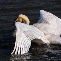 Лебедь :: Светлана Щербакова