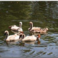 Танец маленьких лебедей :: Елена Миронова