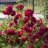 Розы :: Инга Курдюмова