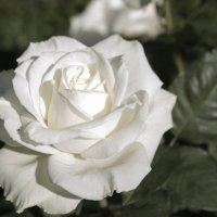 Белая роза :: Наталия Зыбайло