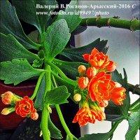 КАЛАНХОЕ :: Валерий Викторович РОГАНОВ-АРЫССКИЙ