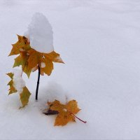Первая зима маленького клена :: Николай Белавин
