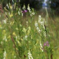 Просто цветы полевые :: Марина Влади-на